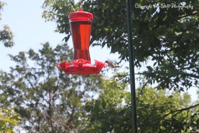 20140905-Hummingbird-05