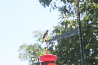 20140905-Hummingbird-06