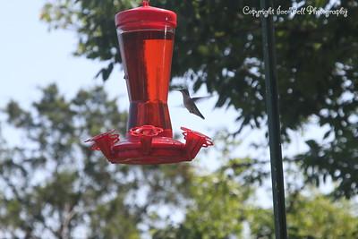 20140905-Hummingbird-02