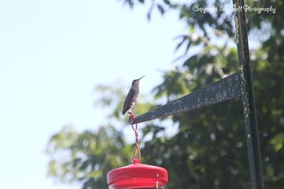 20140905-Hummingbird-03