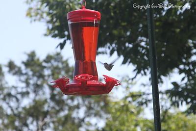 20140905-Hummingbird-01