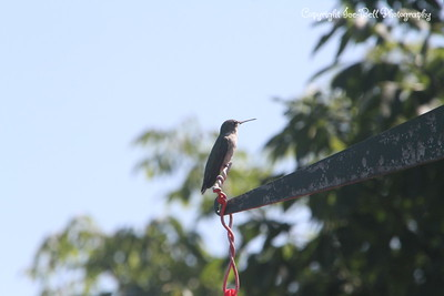 20140905-Hummingbird-04
