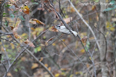 20151126-DownyWoodpecker-03