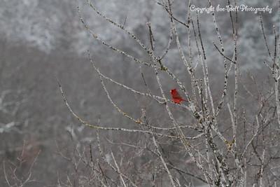 20150304-Cardinal-01