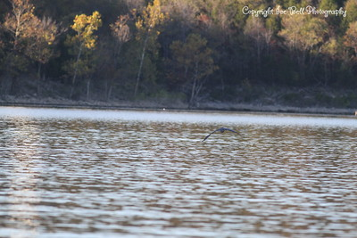 20151101-TableRockLake-Heron-03