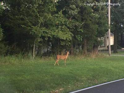 20150805-Deer-01
