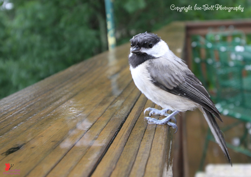 20160523 Poor thing had hit the window and was on the chairs until it flew to the railing. He let me get really close to get a few shots before he had enough and flew to the trees.
