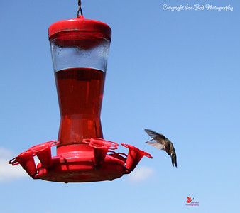 20160821-Hummingbird-05wm