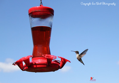20160821-Hummingbird-06wm