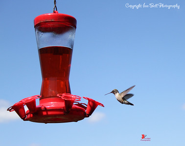 20160821-Hummingbird-04wm