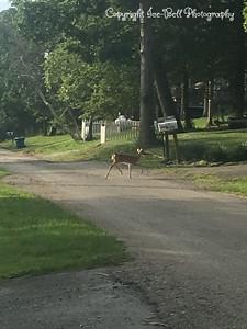 20170626-Deer-03