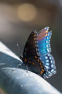 20190831-HobbsStatePark-VanWinkleTrail-Butterflies-5