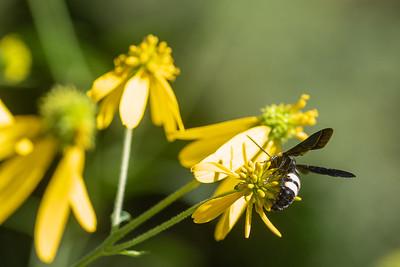 20190831-HobbsStatePark-VanWinkleTrail-WildflowersWithBee-1