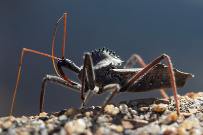 20191109-GalenaMO-AssassinBug-2