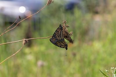 20190831-HobbsStatePark-MonarchButterflies(2)-1