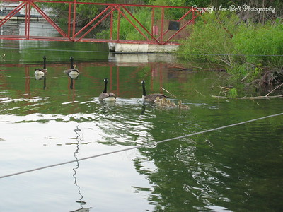 05/28/03  Canadian geese and their goslings as they swim away from the boat dock.