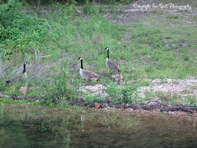 05/28/03  Canadian geese up feeding beside the boat dock with their goslings.