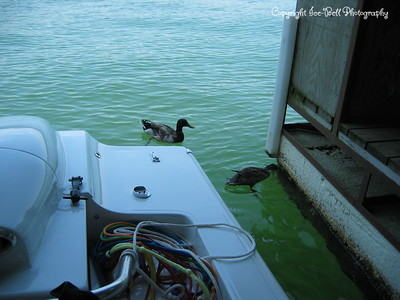 05/30/03  A pair of ducks behind the boat at the boat dock.