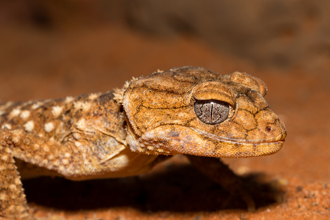 Roadmap - A close -up portrait of a Rough Knob-Tailed Gecko, focussed on its roadmap-like visible eye