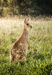 Contemplation - An Eastern Grey Kangaroo deep in thought
