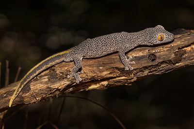 My Log - A Golden-tailed Gecko (Diplodactylus taenicauda ) resting on a log