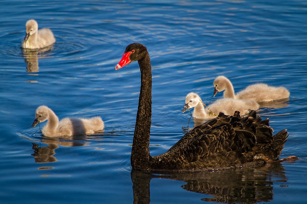 Black Swan Flotilla - A wild black swan and its cygnets
