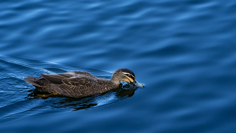 Skimming for Food - A wild Pacific Black Duck skimming the lake water for food