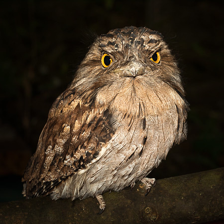 Feather Duster - A Tawny Frogmouth (Podargus strigoides) fluffing up its feathers