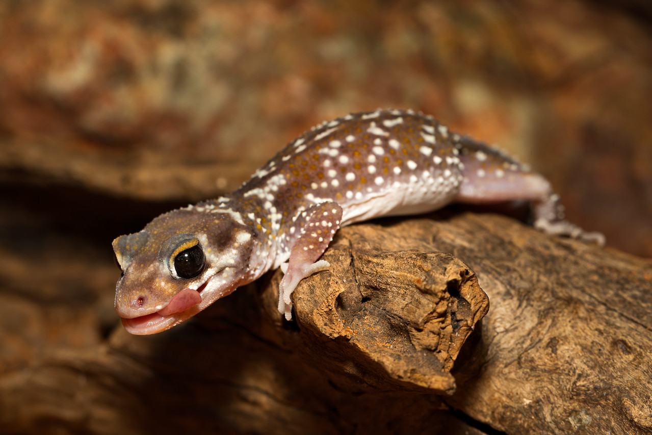 Yum! - A small Barking Gecko (Underwoodisaurus milii) scuttling over a log, licking its lips