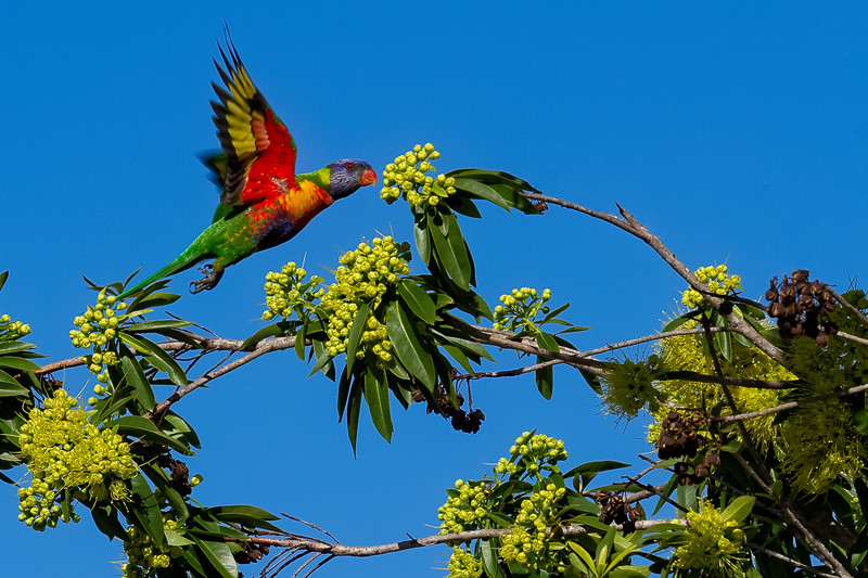 Lift-Off - A rainbow lorikeet (Trichoglossus haematodus) launching into flight out of a blossoming Golden Penda tree