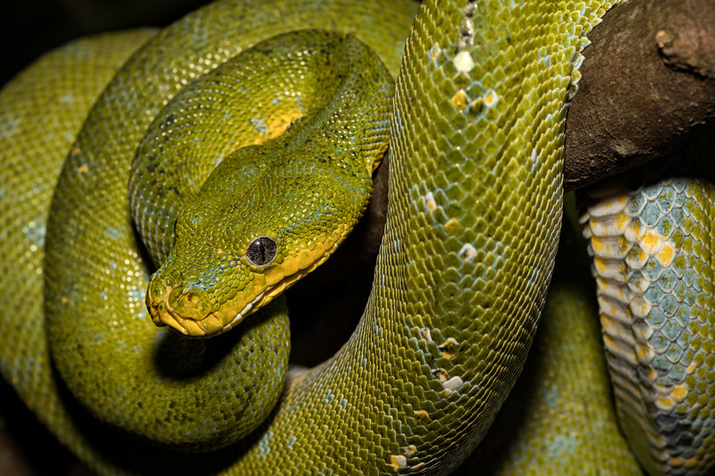 Sinuous Spiral - A Green Tree Python (Morelia viridis) draped over a tree branch