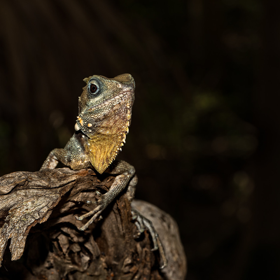 Is this my best side? - A Boyd's Forest Dragon (Hypsilurus boydii) perched on the end of a log