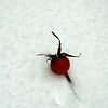 Rosehip in the snow.