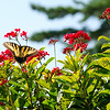 Butterfly and Red Flowers