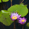 Dragonfly on Water Lily
