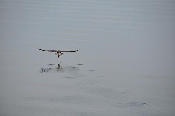Osprey Fishing in North Bay