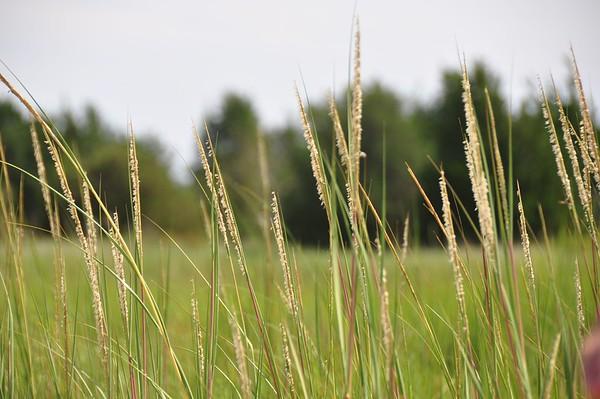 Grasses along North Bay