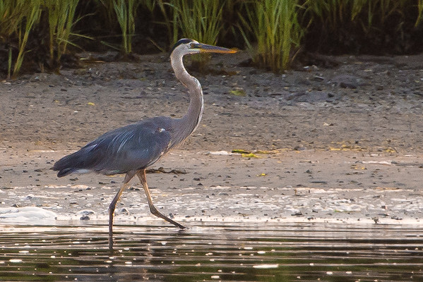 Heron scouting for food.