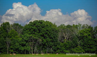 "A ""mountain"" of clouds rises over the trees behind a herd of Shiawassee National Wildlife Refuge whitetails."