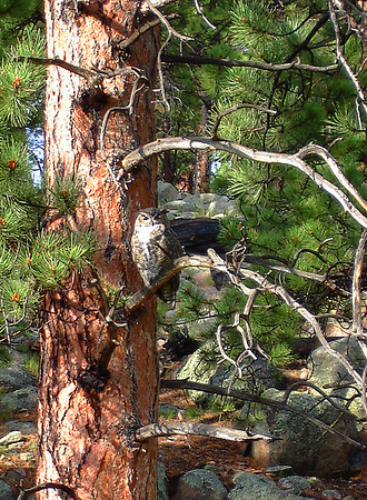 Great Horned Owl in WRV 2007 campground.
