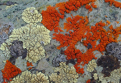 Lichen (near Animas Forks, CO)