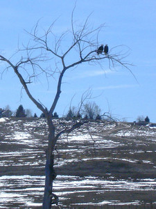 Bald eagle pair (Broomfield open space, CO)
