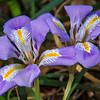 April - Iris in late bloom