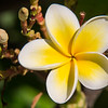 March - Late Frangipani