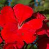 May - Red Geranium