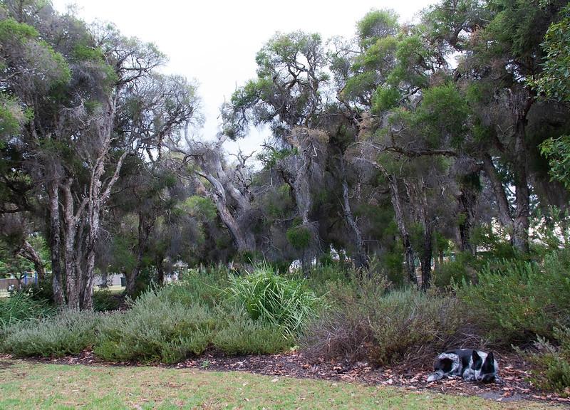Cinders at Sheldrake Park Paperbark Grove