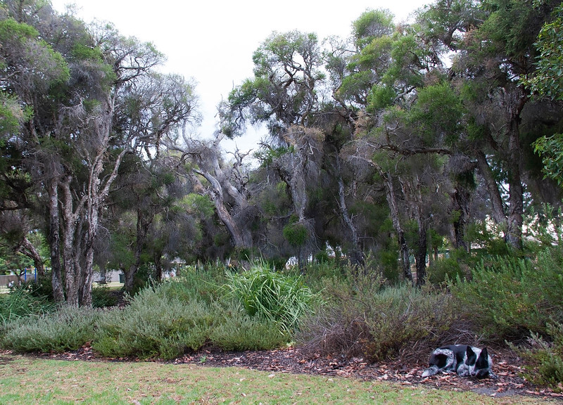 Cinders at Sheldrake Park Paperbark Grove - 30/1/15 Alternate