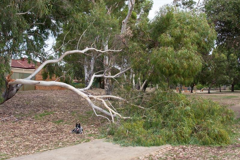 Cinders at fallen tree in Sheldrak Park