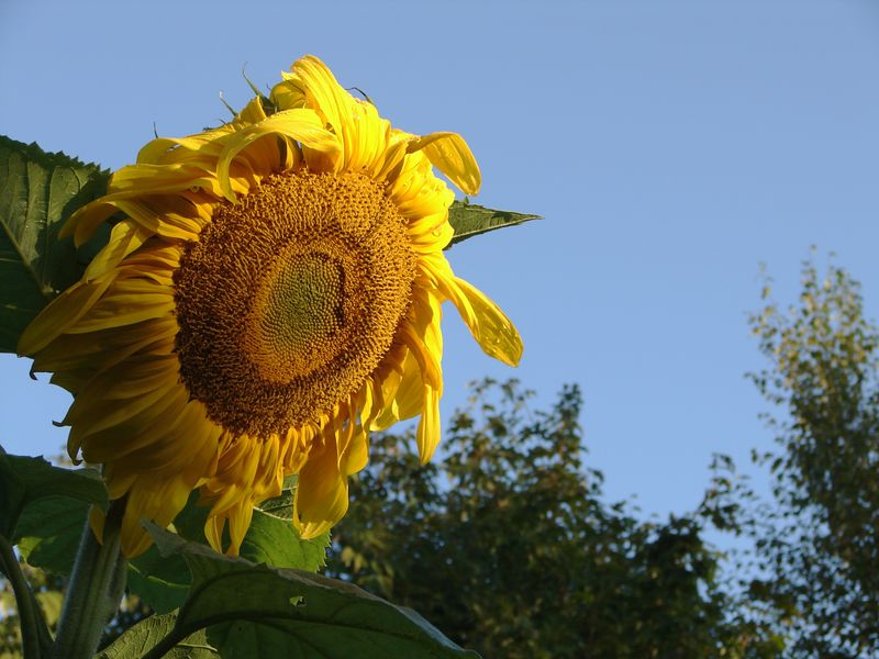 stretching for the morning light. This sunflower was over 8' tall.