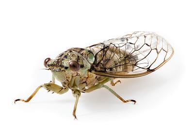 Hieroglyphic Cicada